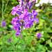 The purple loosestrife is still flowering