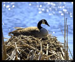 Bernache sur son nid