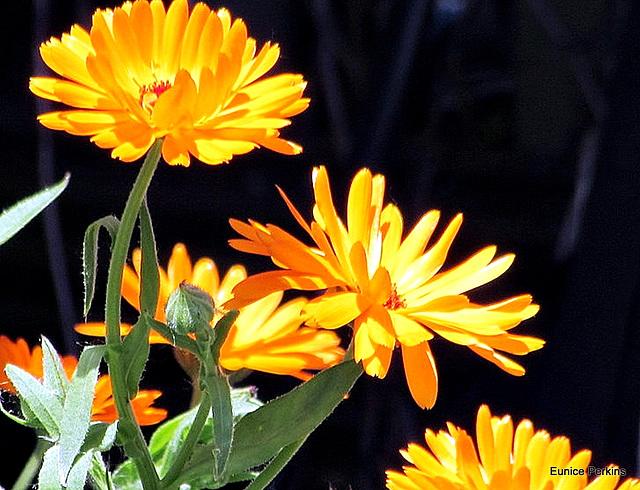Marigolds.