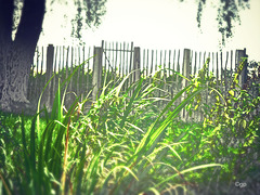 Late Summer Fence