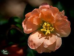 252/366: Lovely Orange Blossom