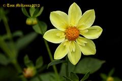 Asteraceae 030 copy