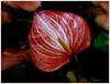 Anthurium .............Bonne semaine et bonne rentrée !
