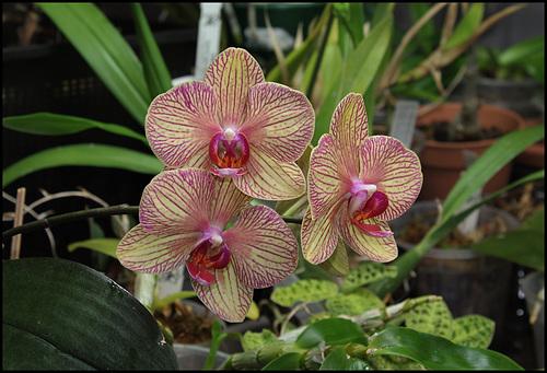 Phalaenopsis Baldan's kaleidoscope (1)
