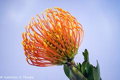 Orange Pin Cushion Protea 092816-001