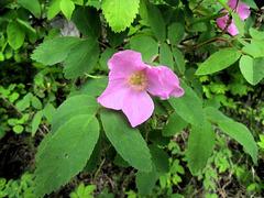 Wild Alaskan rose