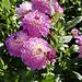 Dahlienblüte auf der Insel Mainau