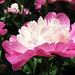 Peony by My Lovely Wife (Explored)