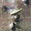 Well-balanced painted turtle