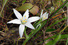 Ornithogalum broteroi, Aspargales