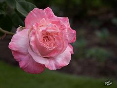 350/366: Blushing Beauty