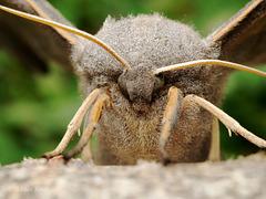 Poplar Hawk Moth Portrait