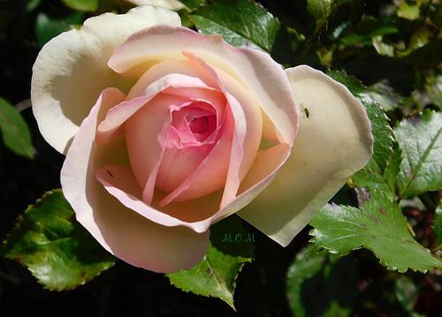 Rose*********