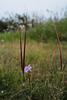 Erodium botrys, Geraniaceae