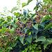 Loads of blackberries!!