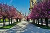 Hanami unter fürstlichen Kirschbäumen - Hanami under Royal Cherry Trees - please view on black!