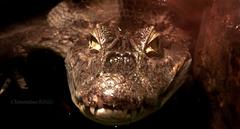 Bébé Alligator