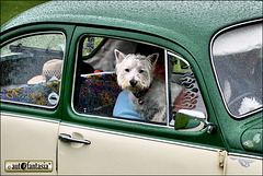 Dogs At Car Shows ...