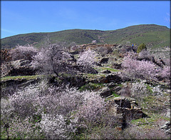 Patones de Ariba, almond blossom