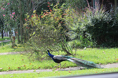 WHAT A SURPRISE !!   This Peacock walking a narrow sidewalk in a nearby community !!!