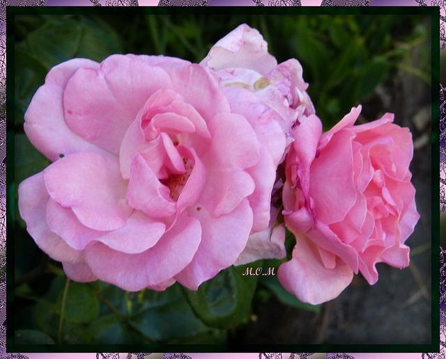 Roses**************
