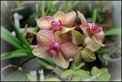Phalaenopsis Baldan's kaleidoscope (2)