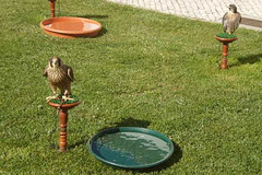 Peregrine falcons.