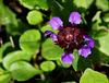 Dame Brunelle a de longs cils - Prunella vulgaris