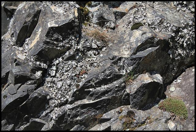 Colonie d'Umbilicaria - lichen (2)