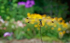 7162665 DxOdL · Dragonfly