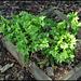 Asplenium scolopendrium Cristata (2)