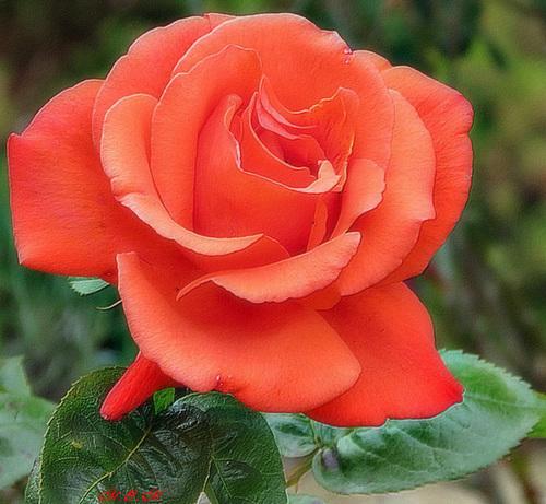Une rose pour vous !