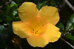 Guatemala, Yellow Flower of Hibiscus