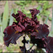 Iris Raptor Red (3)