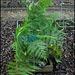 Cyathea australis (2)