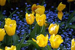 Tulips, Butchart Gardens
