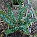 Cyrtomium falcatum (4)