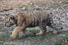 BESANCON: La Citadelle, Le tigre et les tigreaux. 19