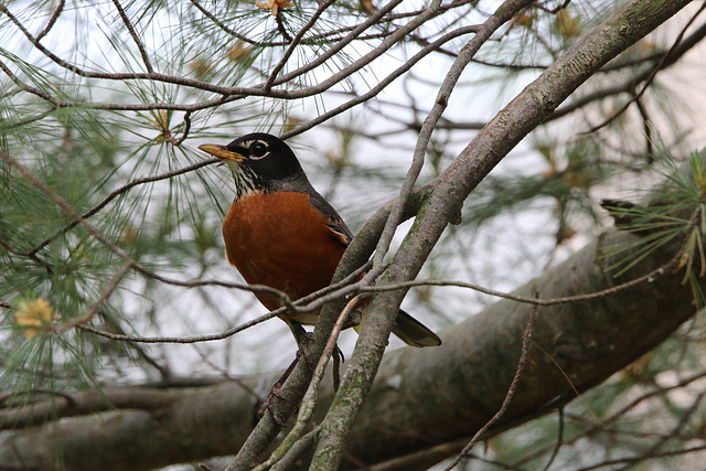 American Robin in the pine tree