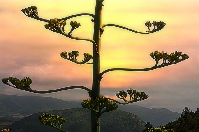 Couchant Agave..!