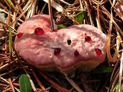 Strawberries and Cream fungus / Hydnellum peckii