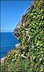 Tenacious ivy. Fishing cove, Reskajeage, Cornwall. PLEASE STAY, DON'T RUN AWAY!!!