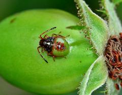 Hawthorn Shieldbug. Acanthosoma. nymph