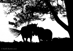 New Forest Ponies in Silhouette