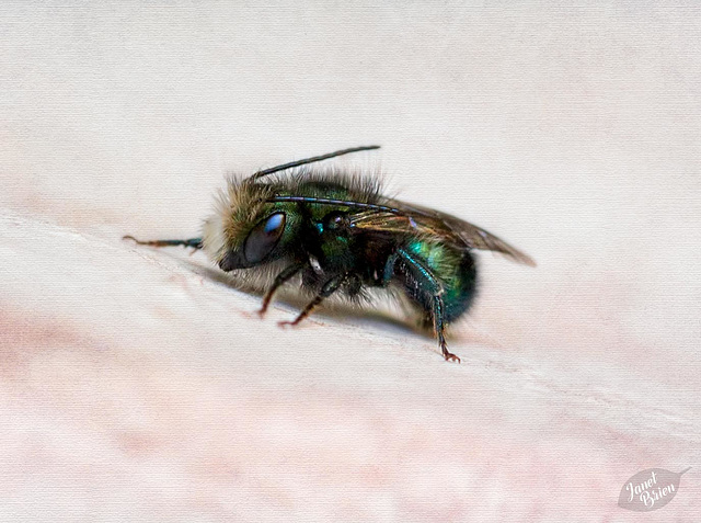 Pictures for Pam, Day 85: Dreamy Mason Bee