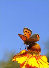 Small copper ~ Kleine vuurvlinder (Lycaena phlaeas)...