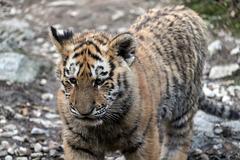BESANCON: La Citadelle, Le tigre et les tigreaux. 20