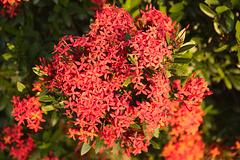 Vrikshi flowers - jungle geranium