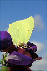 Brimstone ~ Citroenvlinder (Gonepterix rhamni)...