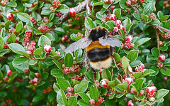 A white tailed bumble working the cotoneaster.